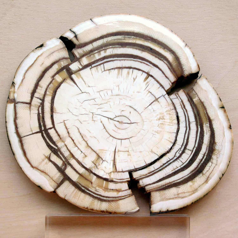 mammutstosszahn